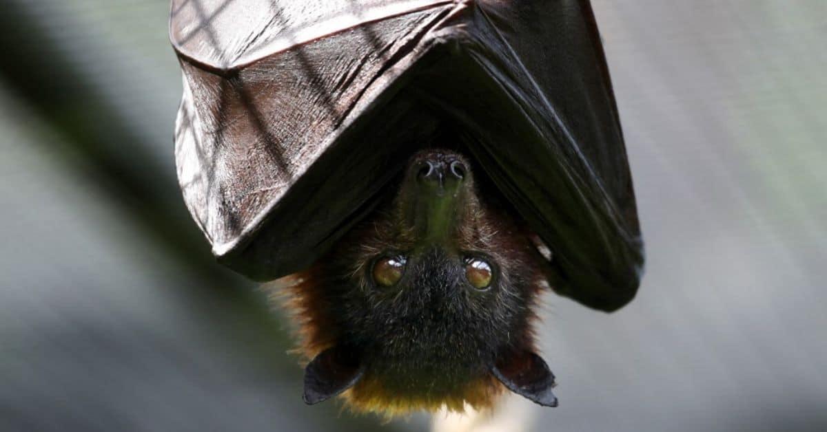 murciélago con rabia